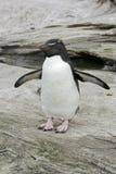 Rockhopper penguin, Eudyptes chrysocome. Single bird on rock, Falklands Royalty Free Stock Photography