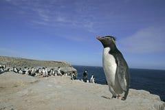 Rockhopper penguin, Eudyptes chrysocome. Single bird on rock, Falklands Stock Photos