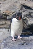 Rockhopper penguin in Falkland island. Rockhopper penguins coming in and out of the water close to their nesting ground royalty free stock photography