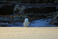 Rockhopper penguin, Falkland Islands Stock Photos