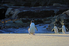 Rockhopper penguin, Falkland Islands Stock Photography