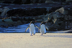 Rockhopper penguin, Falkland Islands Royalty Free Stock Photos