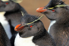 Rockhopper penguin, Falkland Islands Stock Photo