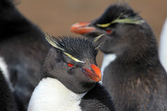 Rockhopper penguin, Falkland Islands Royalty Free Stock Image