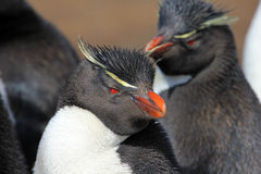 Rockhopper penguin, Falkland Islands Royalty Free Stock Photography