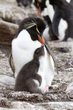 Rockhopper Penguin and her chick Royalty Free Stock Images