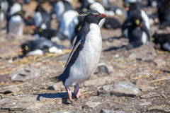Rockhopper Penguin hopping in colony Royalty Free Stock Photography