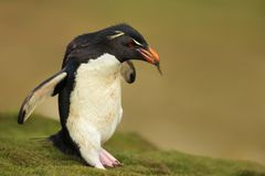 Southern rockhopper penguin with nesting material Stock Images