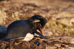 Rockhopper Penguin Nesting Stock Photo