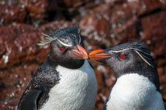 Rockhopper penguin pair Stock Image