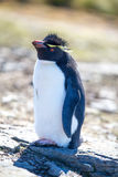 Rockhopper Penguin Portrait Royalty Free Stock Photos
