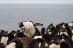Rockhopper Penguin Preening Stock Image
