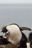 Rockhopper Penguin Preening Stock Images