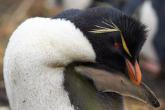 Rockhopper Penguin Preening Royalty Free Stock Photography