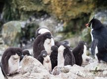 Rockhopper Penguin Preschool or Creche. A group or creche of rockhopper penguin chicks with their fluffy down coats. They are supervised by an adult penguin royalty free stock images