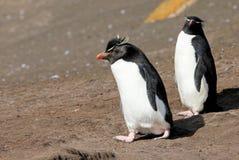 Rockhopper penguin, Falkland Islands Royalty Free Stock Photography