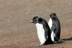 Rockhopper penguin, Falkland Islands Royalty Free Stock Photos