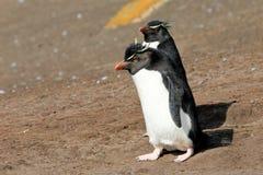 Rockhopper penguin, Falkland Islands Stock Image