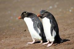 Rockhopper penguin, Falkland Islands Stock Images