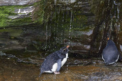 Rockhopper Penguin shower - Falkland Islands Stock Image