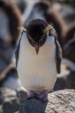 Rockhopper penguin standing on rock looking down Stock Photo