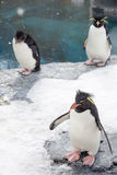 Rockhopper penguin Stock Photography
