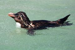 Rockhopper Penguin Royalty Free Stock Image