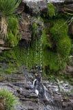 Rockhopper Penguin is taking a shower Royalty Free Stock Images