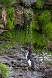 Rockhopper Penguin is taking a shower