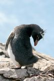 Rockhopper penguin turns its head, Falkland Island. Rockhopper penguin is bending over & stretching towards its tail, Falkland Islands royalty free stock photography