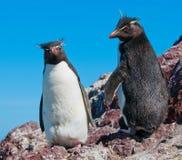 Rockhopper penguins. Two cute rockhopper penguins looking at you Royalty Free Stock Images