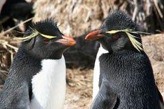 Rockhopper penguins. Colony of falkland (subantarctic island Stock Images