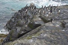 Rockhopper Penguins coming ashore - Falkland Islands Royalty Free Stock Photo