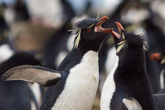 Rockhopper Penguins Courting Stock Photos