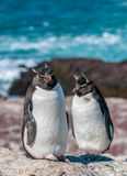 Rockhopper penguins Royalty Free Stock Image