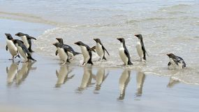 Rockhopper penguins (Eudyptes chrysocome). Landing on the beach when returning from a fishing trip at Saunders Island, Falkland Islands Stock Images