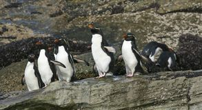 Rockhopper penguins (Eudyptes chrysocome). Standing on the rocks on the Falkland Islands Royalty Free Stock Images