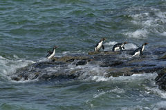 Rockhopper penguins (Eudyptes chrysocome). Landing on the rocks when returning from a fishing trip at Saunders Island, Falkland Islands Royalty Free Stock Photography