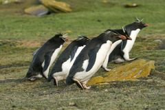 Rockhopper penguins (Eudyptes chrysocome). Walking on the grass on the Falkland Islands Royalty Free Stock Photo