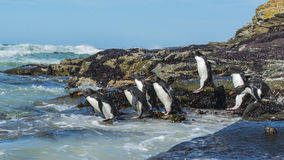 Rockhopper penguins Falkland Island Royalty Free Stock Photos