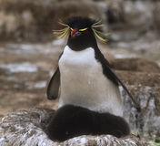Rockhopper Penguins, Falkland Islands. Rockhopper penguin watchfully sitting with chicks in the Falkland Islands, with red beak and eyes, and yellow crest Royalty Free Stock Photo