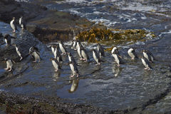 Rockhopper Penguins - Falkland Islands Stock Photography