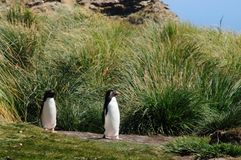 Rockhopper Penguins on the Falklands. Indecisive Rock Hopper Penguins on the Penguin Highway at Westpoint Island Stock Photography