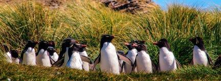 Rockhopper Penguins on the Falklands. Indecisive Rock Hopper Penguins on the Penguin Highway at Westpoint Island Royalty Free Stock Photo