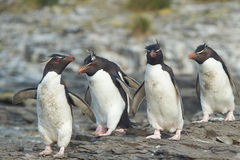 Rockhopper Penguins Royalty Free Stock Photo