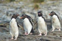 Rockhopper Penguins Royalty Free Stock Photo