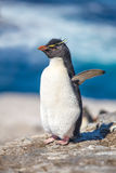 Rockhopper Penguins with ocean in background Royalty Free Stock Image