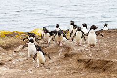 Rockhopper Penguins walking uphill Stock Photo