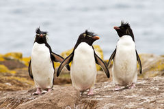 Rockhopper Penguins walking uphill Stock Image