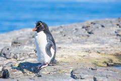 Rockhopper-Pinguin auf einem Felsen in der Kolonie Lizenzfreie Stockfotos